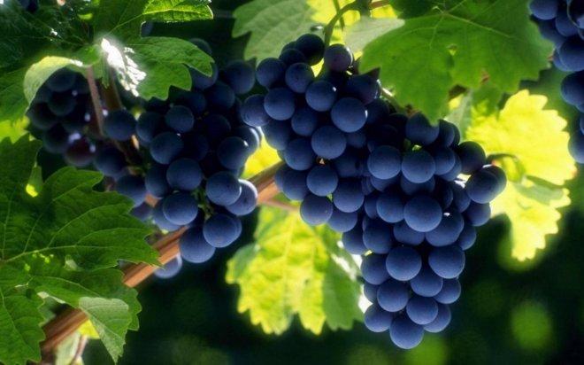 Можно ли обрезать виноград летом