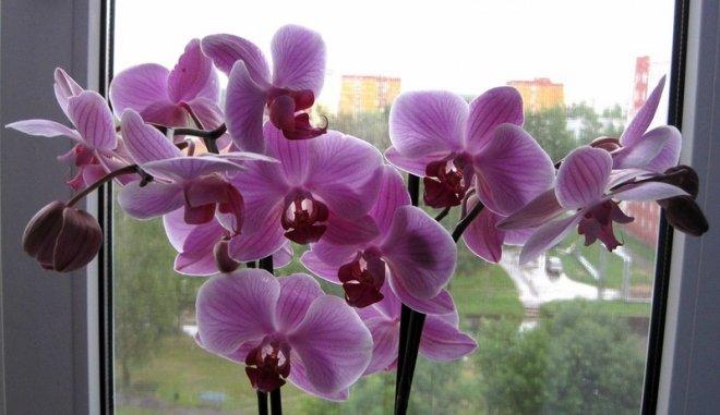 Базовый уход за орхидеями