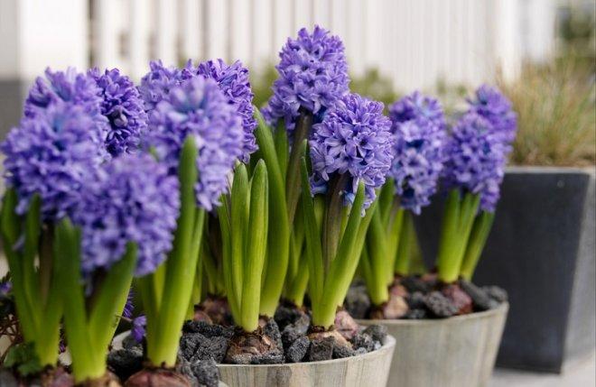 Растения с самым прекрасным запахом на балкон