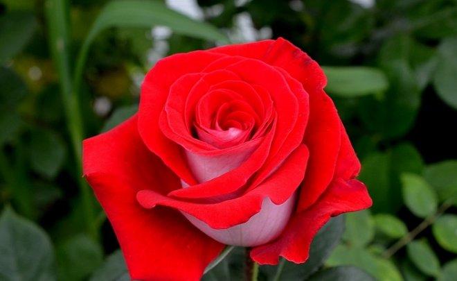 Чайно-гибридный сорт розы Латин Леди