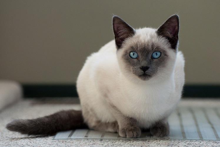 Сиамская кошка-сочетание грации и роскоши