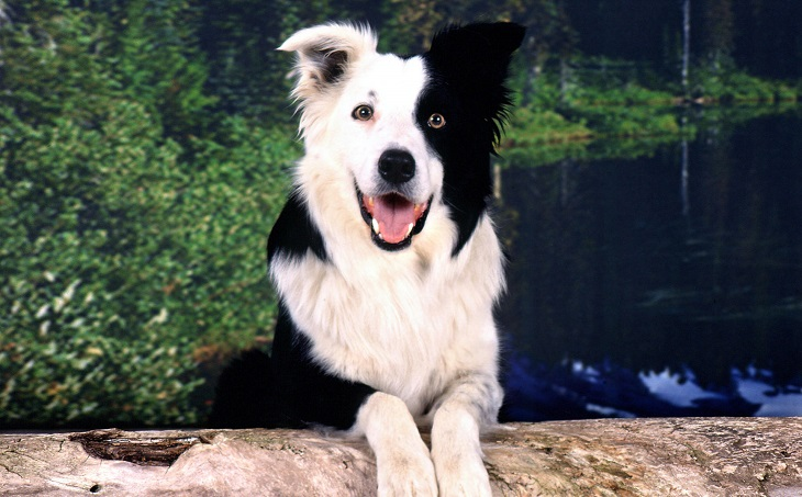 Самая умная порода собак: Бордер-колли