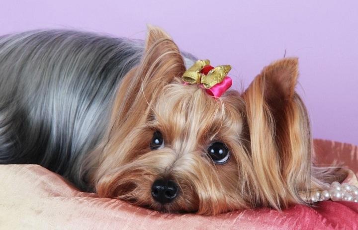 Йоркширский терьер - любимая порода собак у женщин