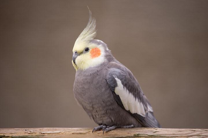 Попугай Корелла: описание, уход, кормление, размножение
