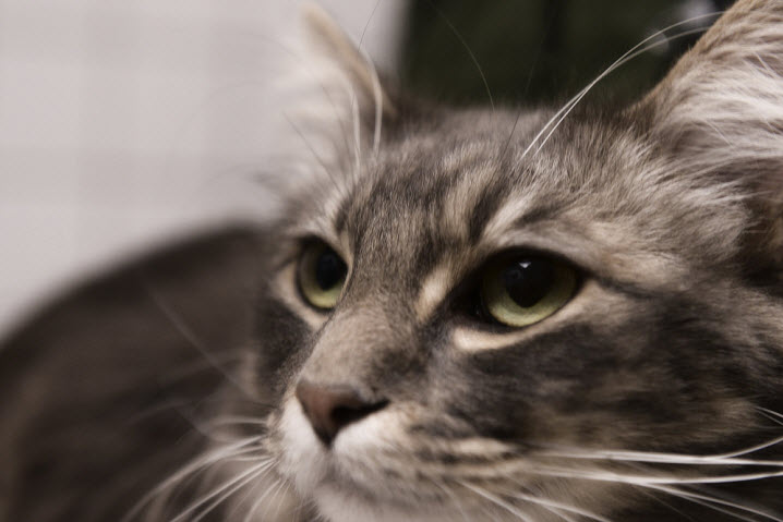 Дерматофитозы у кошек