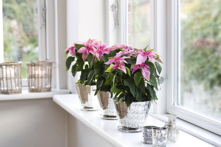 Комнатные цветы для благоприятной атмосферы в доме