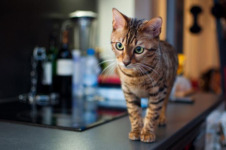Тойгеры из семейства кошачьих