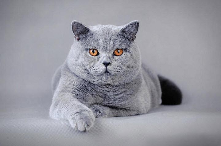 Королевский нрав британской породы кошек