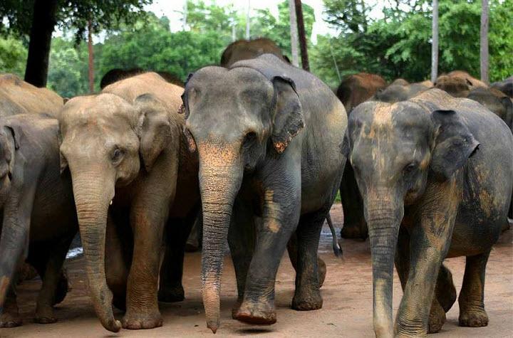 Слоновий питомник Пиннавела — Шри-Ланка