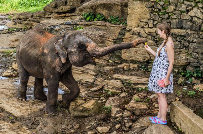 девушка кормит слона Шри-Ланка