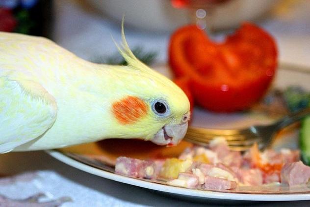 попугай корелла ест